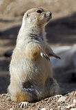 Prairie dog 3 Stock Image
