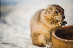 Prairie Dog. A close-up picture of a prairie dog eating some food Royalty Free Stock Image