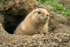 Prairie dog. Looking from its burrow royalty free stock image