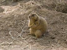 Prairie dog. Eating royalty free stock photos