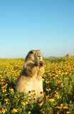 Prairie dog. A prairie dog in a patch of flowers with a big blue sky in the background royalty free stock photography