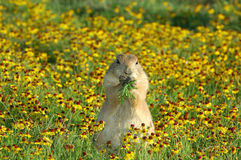 Prairie dog. A prairie dog eats some grass in a patch of flowers Royalty Free Stock Photos