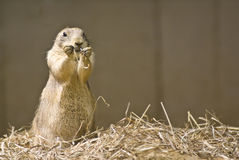 Prairie Dog. Captured while standing on hind legs and playing with a piece of hay royalty free stock photography