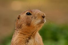 Prairie dog. A prairie dog on guard Stock Photography