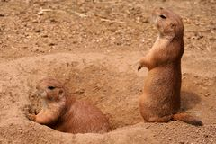 Prairie dog. Two prairie dogs on guard Stock Photo