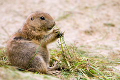 Prairie dog Royalty Free Stock Photography