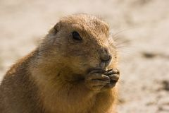 Prairie dog. Small, burrowing rodents native to the grasslands of North America Stock Images