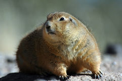 Prairie Dog. A prairie dog found in America's southwest Stock Image
