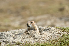 Prairie dog. At his burrow. North Dakota badlands Stock Image