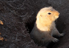 Prairie dog. A prairie dog in the opening of its burrow - Scientific name: Cynomys stock photos