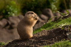 Free Prairie Dog Royalty Free Stock Image - 8282306