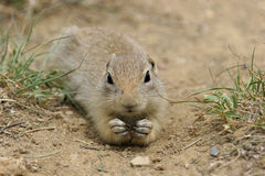 Prairie Dog. Closeup of eating Prairie Dog captured in Nebraska. Canon 20D Stock Images