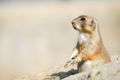 Prairie dog Stock Photo