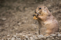 Prairie Dog. An adorable Prairie Dog in it's natural environment royalty free stock photography