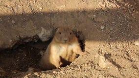 Prairie Dog Adult Alert at Burrow Entrance stock video