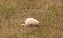 Prairie dog. Albino prairie dog on an early frontier South Dakota homestead Stock Photography