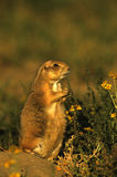 Prairie Dog on Alert Royalty Free Stock Photography