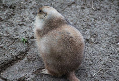 Prairie dog alert Stock Photography