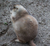 Prairie dog alert Stock Images