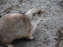 Prairie dog alert Stock Photos