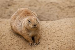 Prairie Dog Alone Royalty Free Stock Images