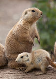 Prairie Dog with baby royalty free stock photos