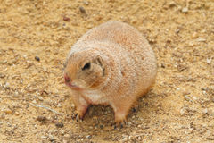 Prairie dog on a background of sand Stock Images