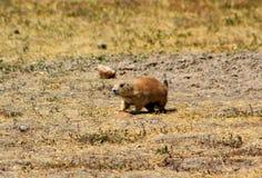 Prairie dog in badlands national park. Prairie dog in badlands stock images