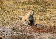 Prairie dog in badlands national park. Prairie dog in badlands royalty free stock image