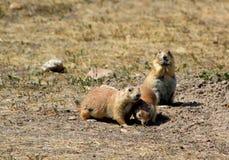 Prairie dog in badlands national park. Prairie dog in badlands stock photo