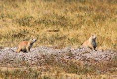 Prairie dog in badlands national park. Prairie dog in badlands stock image