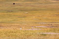Prairie dog and bison in badlands national park. Prairie dog and bison in badlands royalty free stock photography