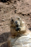 Prairie Dog, Black-Tailed. Prairie dog eating while sitting Royalty Free Stock Photography