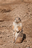 Prairie Dog Blends with Background Stock Image