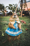 Prairie dog in a blue dress on a lawn Royalty Free Stock Photo