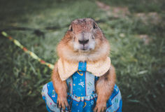 Prairie dog in a blue dress on a lawn Stock Images