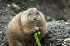 Prairie dog brunch Royalty Free Stock Photos