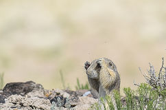 Prairie Dog Bugged By Bugs Stock Photography