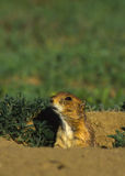 Prairie Dog in Burrow Royalty Free Stock Image