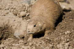 Prairie Dog at Burrow. Prairie Dog or Cynomys ludovicianus animal in front of burrow royalty free stock photography