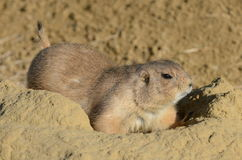 Prairie Dog on burrow Royalty Free Stock Photos