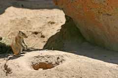 Prairie Dog by Burrow Royalty Free Stock Image