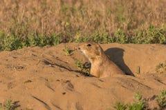 Prairie Dog at Burrow Stock Image