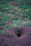 Prairie Dog Burrow and Flowers stock images
