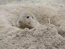 Prairie dog in burrow Royalty Free Stock Photo