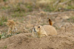 Prairie Dog at Burrow Royalty Free Stock Photos