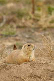 Prairie Dog on Burrow Royalty Free Stock Image