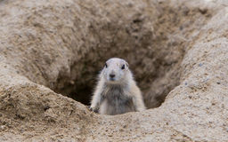 Prairie dog checking out Stock Photography