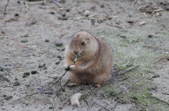Prairie dog chewing Stock Image