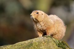 A prairie dog. Close up stock photo